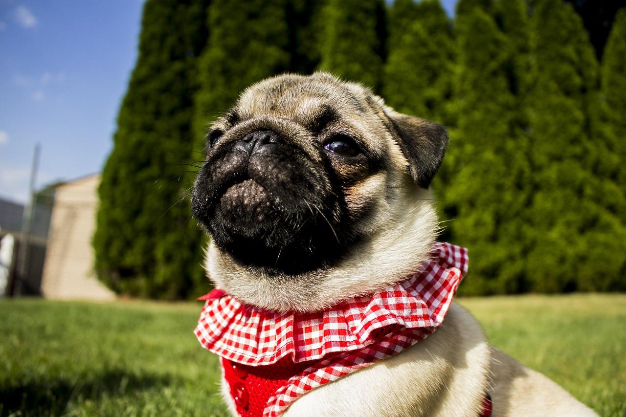 pug, portrait, cute