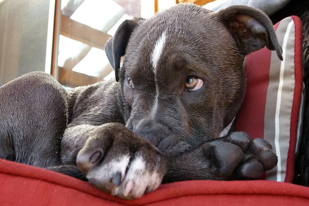 pitbull, puppy, watching