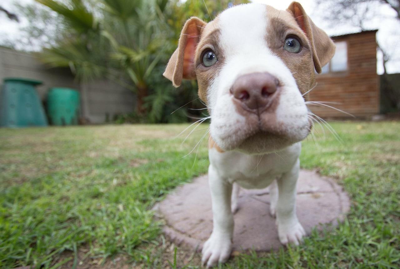 puppy, pitbull, dog