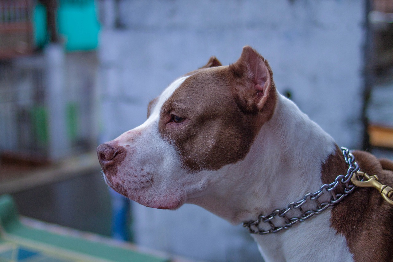 old pitbull cafe, string, dog