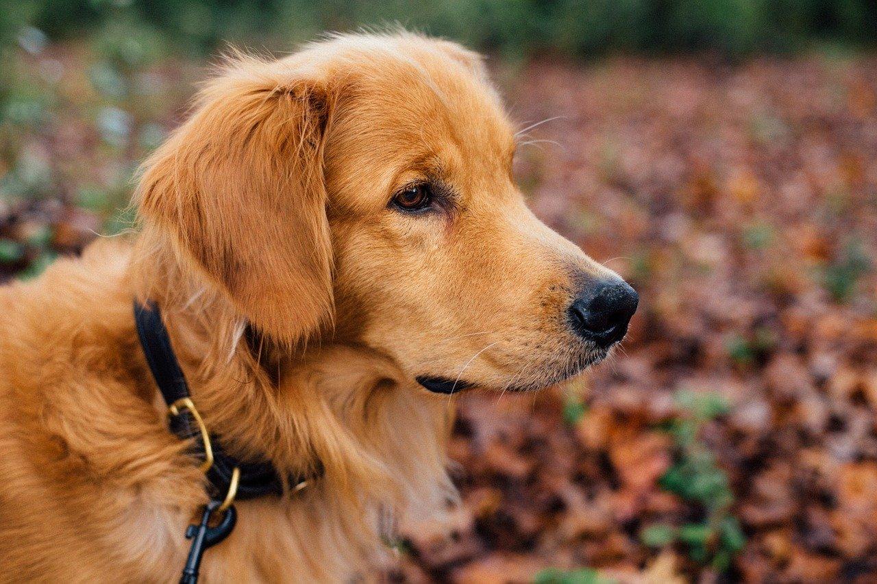 dog, collar, animal